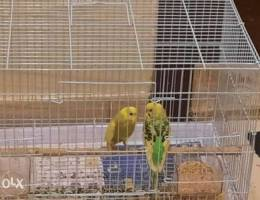 Pair of buggies with cage and nesting box