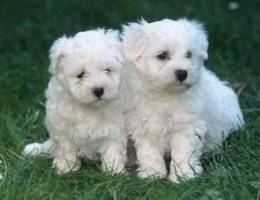 Beautiful Maltese male and female puppies ...
