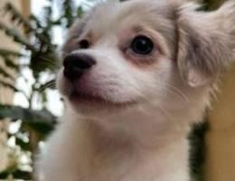 كلب بريتني فرنسي، ٣ شهور و نص French Britt...