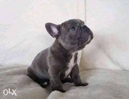 Beautiful French bulldogs puppies for sale