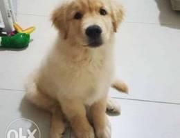 Super Adorable Golden Retriever Puppies
