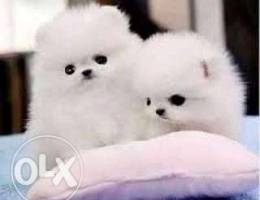Pomeranian Male and female puppies for sal...