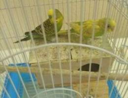 Birds for sale with cage. Breading paor