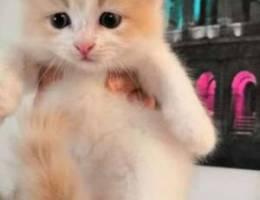 قطط للبيع / Cats for sale