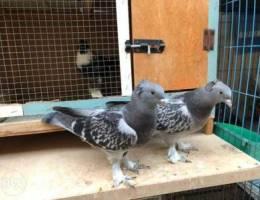 Turkish Tumbler Fancy Pigeons