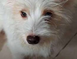 6 mos. Jack Russell x Maltese