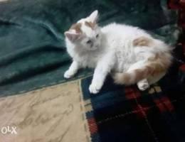 قطة جميلة شعرها رطب وطويل